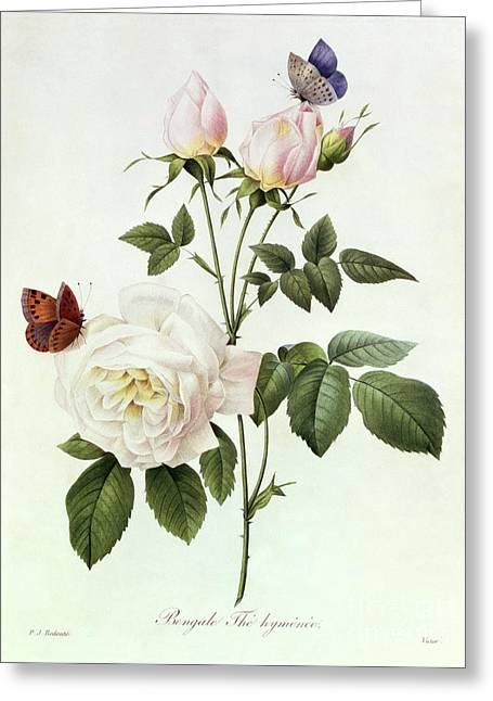 Engraving Greeting Cards - Rosa Bengale the Hymenes Greeting Card by Pierre Joseph Redoute