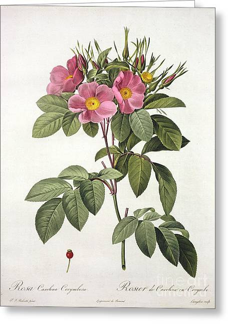 Flower Blooms Drawings Greeting Cards - Rosa Carolina Corymbosa Greeting Card by Pierre Joseph Redoute
