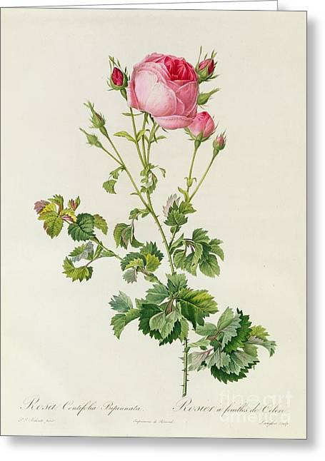 Prickly Greeting Cards - Rosa Centifolia Bipinnata Greeting Card by Pierre Joseph Redoute