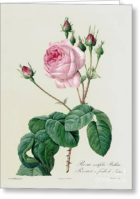Redoute Drawings Greeting Cards - Rosa Centifolia Bullata Greeting Card by Pierre Joseph Redoute