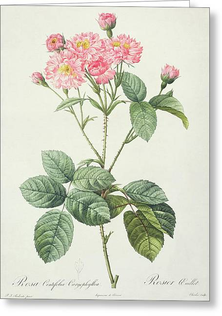 Blossoming Drawings Greeting Cards - Rosa Centifolia Caryophyllea Greeting Card by Pierre Joseph Redoute