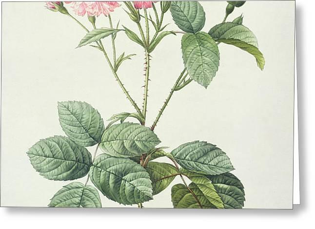 Rosa Centifolia Caryophyllea Greeting Card by Pierre Joseph Redoute
