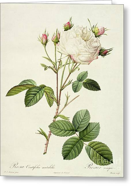 Petal Greeting Cards - Rosa Centifolia Mutabilis Greeting Card by Pierre Joseph Redoute