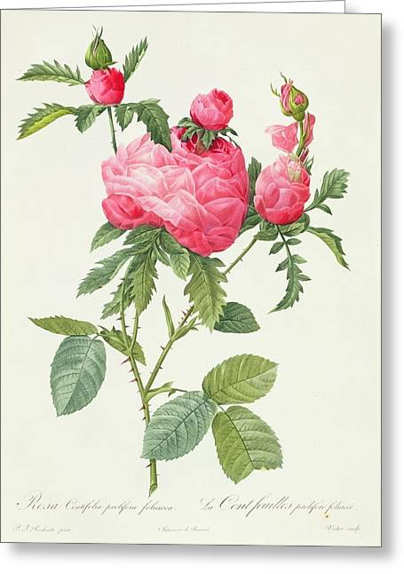 Blossoming Drawings Greeting Cards - Rosa Centifolia Prolifera Foliacea Greeting Card by Pierre Joseph Redoute