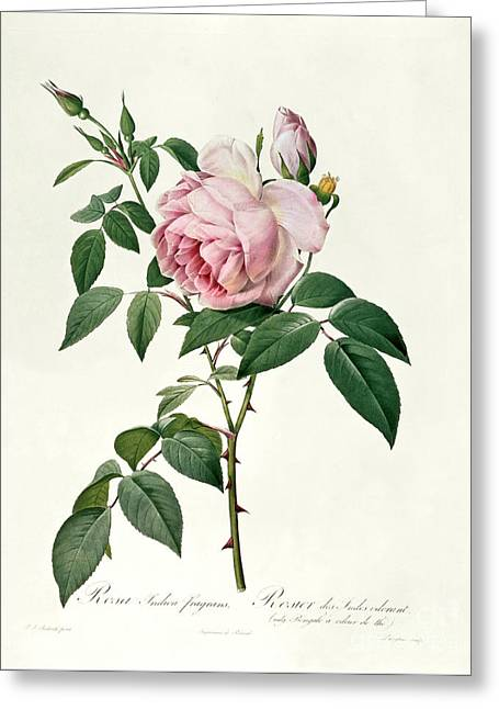 Redoute Drawings Greeting Cards - Rosa chinensis and Rosa gigantea Greeting Card by Joseph Pierre Redoute