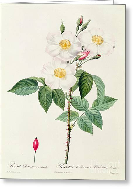 Redoute Drawings Greeting Cards - Rosa Damascena Subalba Greeting Card by Pierre Joseph Redoute