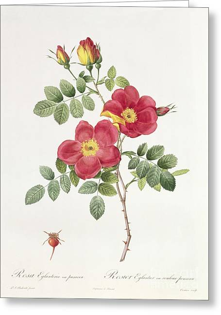 Flower Blooms Drawings Greeting Cards - Rosa Eglantera Punicea Greeting Card by Pierre Joseph Redoute