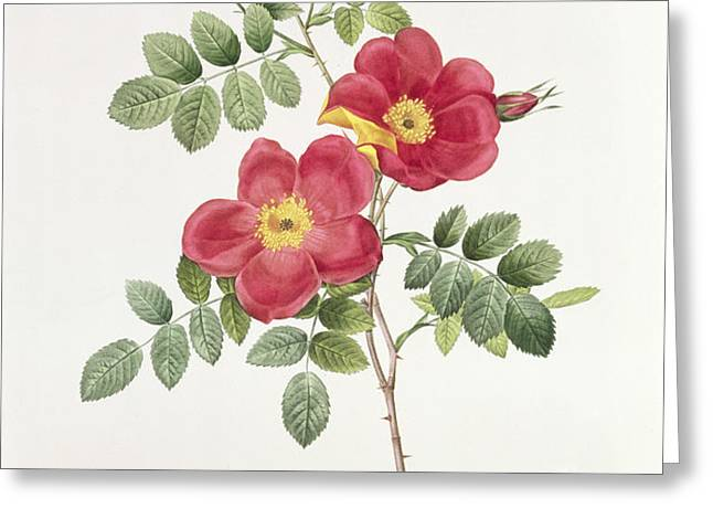 Rosa Eglantera Punicea Greeting Card by Pierre Joseph Redoute