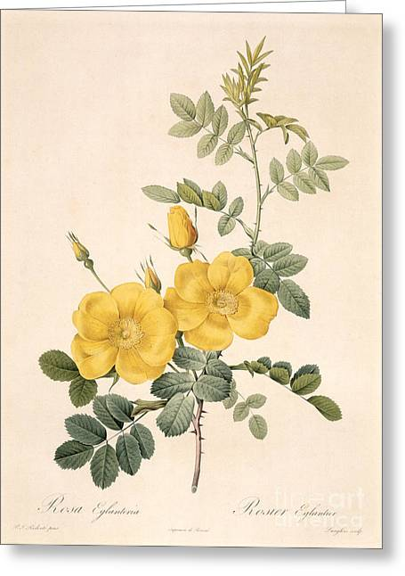 Flower Blooms Drawings Greeting Cards - Rosa Eglanteria Greeting Card by Pierre Joseph Redoute