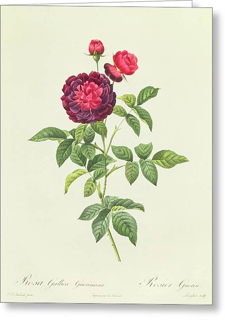 Nature Study Drawings Greeting Cards - Rosa Gallica Gueriniana Greeting Card by Pierre Joseph Redoute