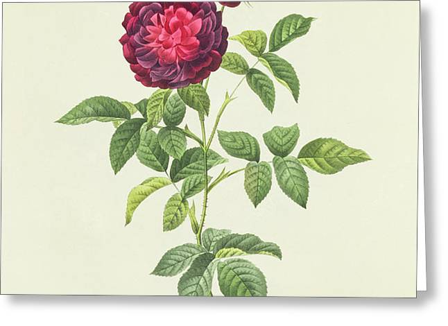 Rosa Gallica Gueriniana Greeting Card by Pierre Joseph Redoute