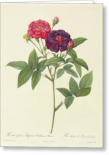 Petal Greeting Cards - Rosa Gallica Purpurea Velutina Greeting Card by Pierre Joseph Redoute