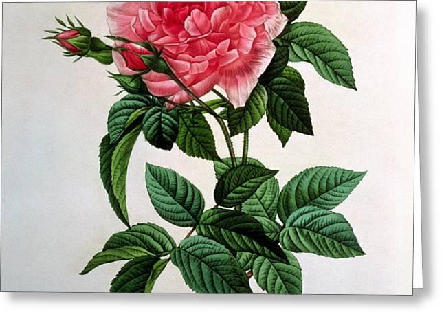 Rosa Gallica Regallis Greeting Card by Pierre Joseph Redoute