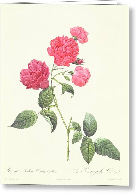Nature Study Drawings Greeting Cards - Rosa Indica Caryophyllea Greeting Card by Pierre Joseph Redoute