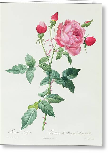 Roses Drawings Greeting Cards - Rosa Indica Greeting Card by Pierre Joseph Redoute