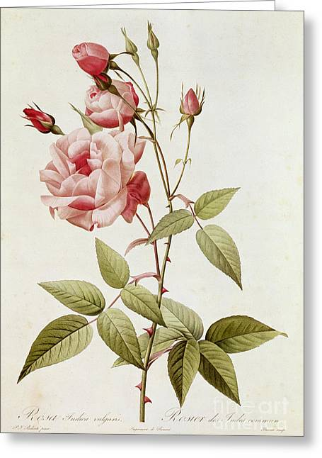 Red Leaves Greeting Cards - Rosa Indica Vulgaris Greeting Card by Pierre Joseph Redoute