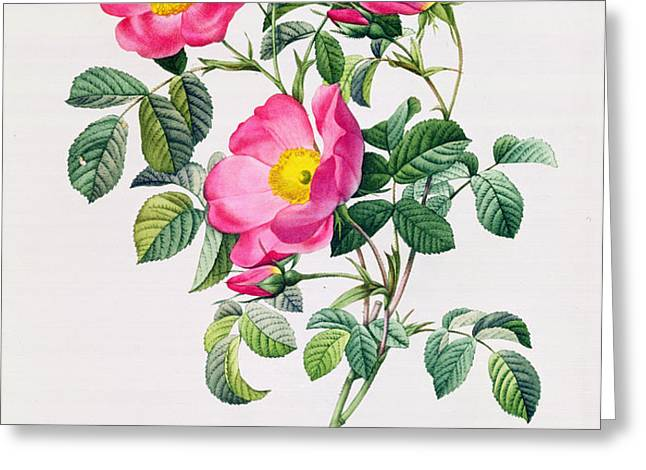Rosa Lumila Greeting Card by Pierre Joseph Redoute