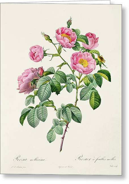 Redoute Drawings Greeting Cards - Rosa Mollissima Greeting Card by Claude Antoine Thory