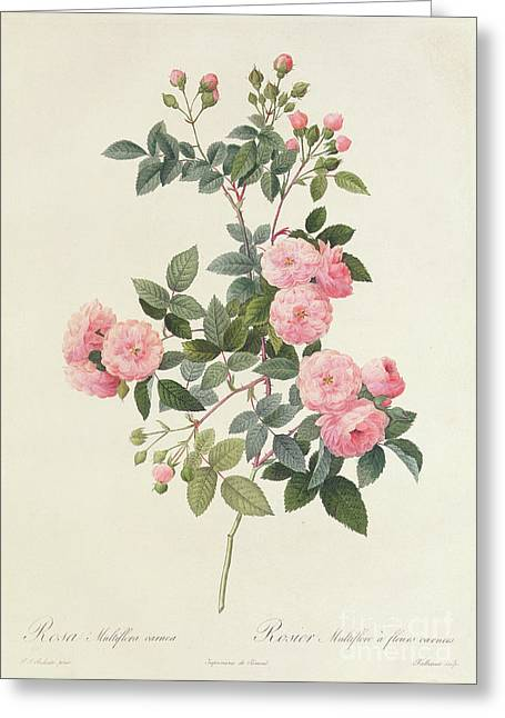 Garden Drawings Greeting Cards - Rosa Multiflora Carnea Greeting Card by Pierre Joseph Redoute