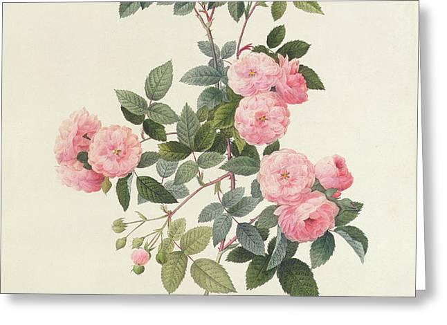 Rosa Multiflora Carnea Greeting Card by Pierre Joseph Redoute