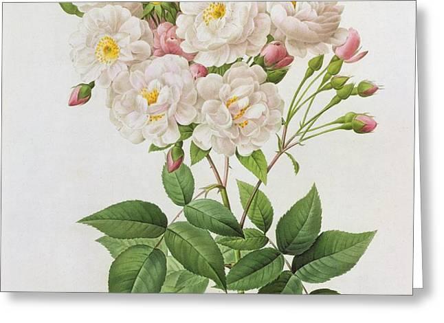 Rosa Noisettiana Greeting Card by Pierre Joseph Redoute