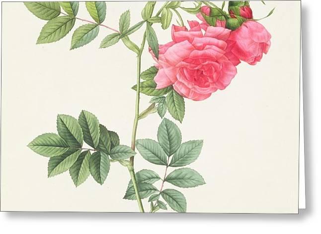 Rosa Pimpinellifolia Flore Variegato  Greeting Card by Pierre Joseph Redoute