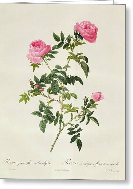 Flores Greeting Cards - Rosa Sepium Flore Submultiplici Greeting Card by Pierre Joseph Redoute
