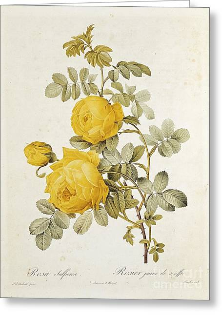 Printed Greeting Cards - Rosa Sulfurea Greeting Card by Pierre Redoute