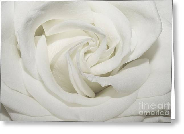 Macro Flower Photography Greeting Cards - Rose 1 Greeting Card by SK Pfphotography