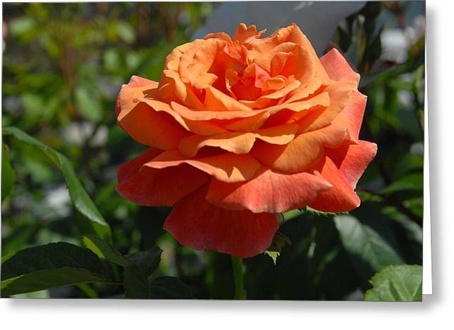 Roses Greeting Cards - Flowers 711 Greeting Card by Joyce StJames