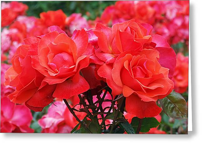 Red Flowers Greeting Cards - Rose Abundance Greeting Card by Rona Black