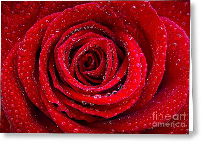 Dew Greeting Cards - Rose and Drops Greeting Card by Carlos Caetano