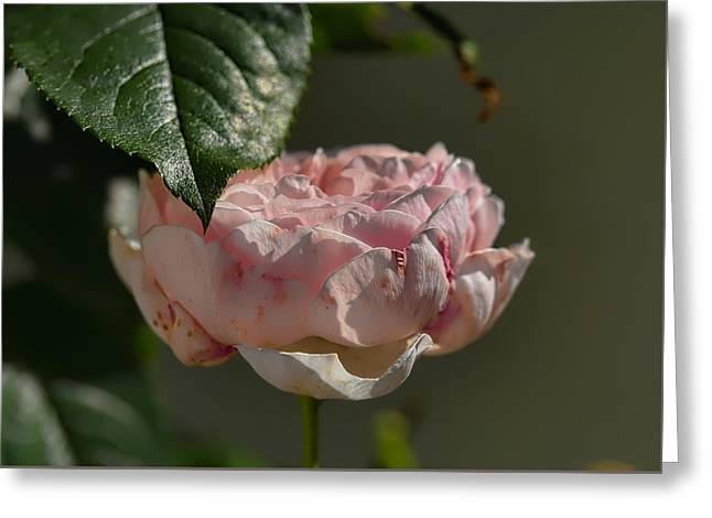 Coloured Greeting Cards - Rose ans leaf Greeting Card by Leif Sohlman