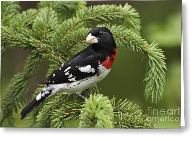 Indiana Roses Greeting Cards - Rose-breasted Grosbeak - D002769 Greeting Card by Daniel Dempster