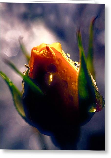 Rose Bud In The Highlight Greeting Card by Lilia D