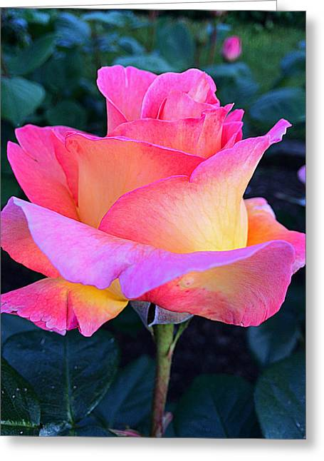 Rose Petals Greeting Cards - Rose Delight Greeting Card by Vicky Adams