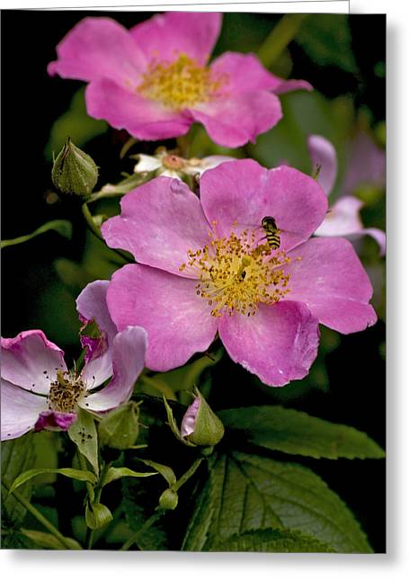 Duke Island Park Greeting Cards - Rose Family with Bee Greeting Card by Warren M Gray