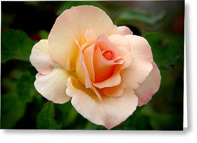 Close Ups Greeting Cards - Rose is a Rose is a Rose Greeting Card by Christine Till