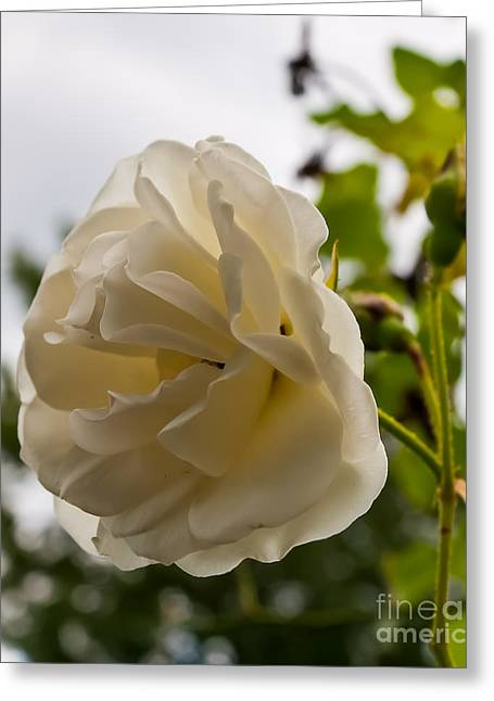Talking Roses Greeting Cards - Rose Of Elegance Greeting Card by F Helm