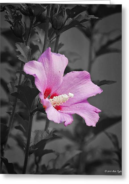 Pinks And Purple Petals Photographs Greeting Cards - Rose Of Sharon Among Faded Surroundings Greeting Card by Matt Taylor
