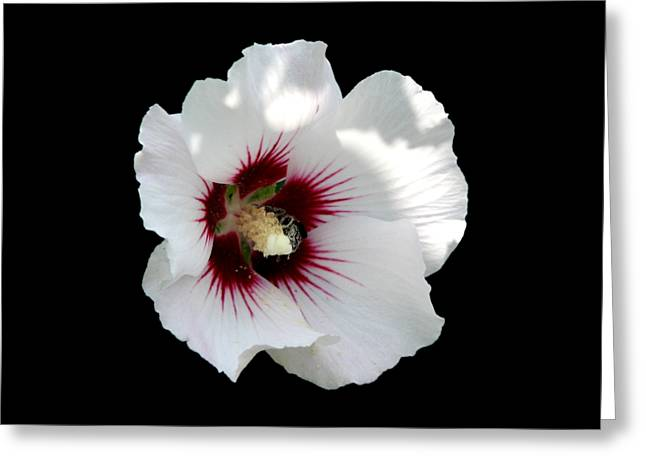 Santuci Greeting Cards - Rose of Sharon Flower and Bumble Bee Greeting Card by Rose Santuci-Sofranko