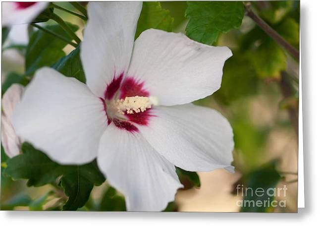 Rose Of Sharon Greeting Cards - Rose of Sharon Greeting Card by Valerie Morrison