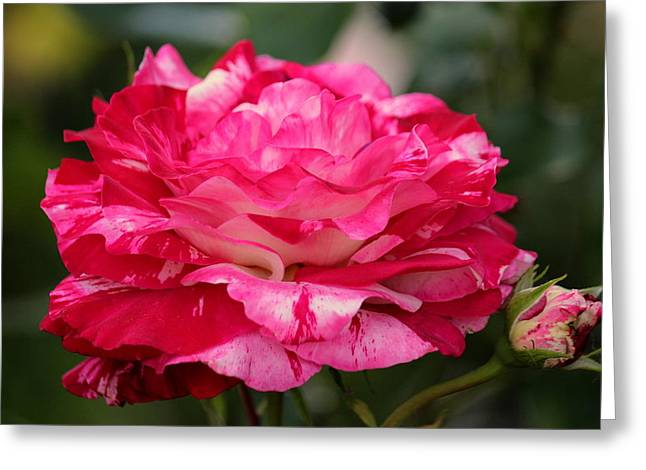Jordan Greeting Cards - Rose Splendor Greeting Card by Rosanne Jordan