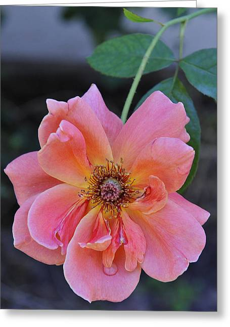 Rose Petals Greeting Cards - Rose with droplet Greeting Card by Stephen Anderson