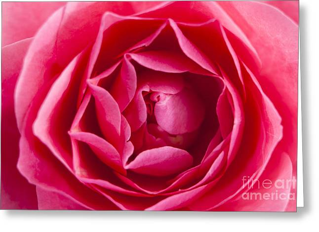 Rose Pleasure Greeting Cards - Rose Greeting Card by Wolfgang Steiner