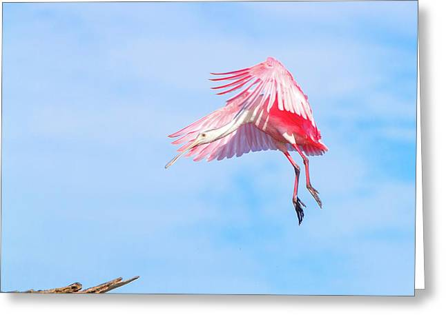 Roseate Spoonbill Final Approach Greeting Card by Mark Andrew Thomas