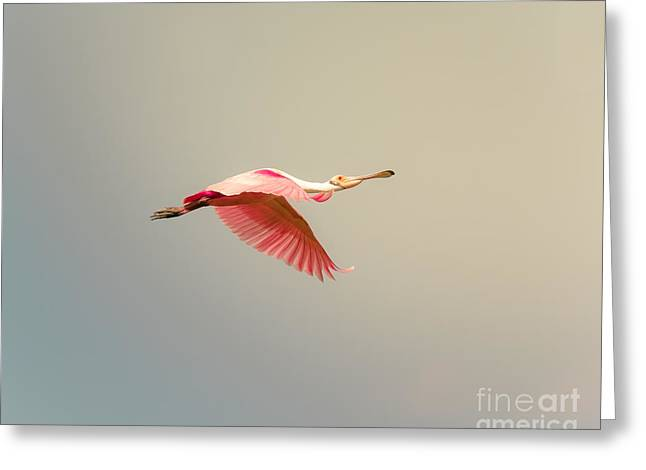 Cabin Window Greeting Cards - Roseate Spoonbill Flying Greeting Card by Robert Frederick