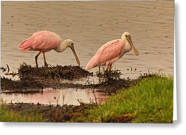 Wildlife Refuge. Greeting Cards - Roseate Spoonbill Pair Greeting Card by Theo O