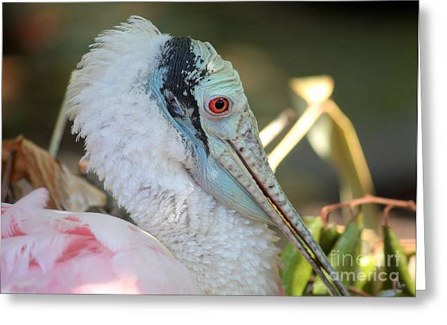 Spoonbill Greeting Cards - Roseate Spoonbill Profile Greeting Card by Carol Groenen