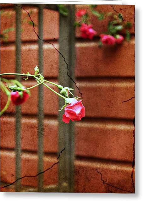 Pdx Roses Greeting Cards - Rosebud on the fence Greeting Card by Cathie Tyler